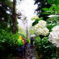 紫陽花 雨の日