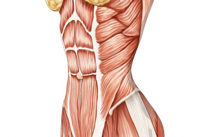 腹筋のイラスト シックスパック 腹斜筋