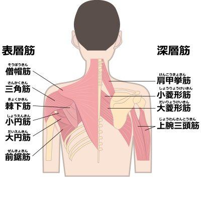 大円筋を含む背中の筋肉