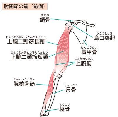上腕二頭筋を含む腕の筋肉